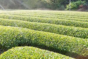 茶葉プロジェクト